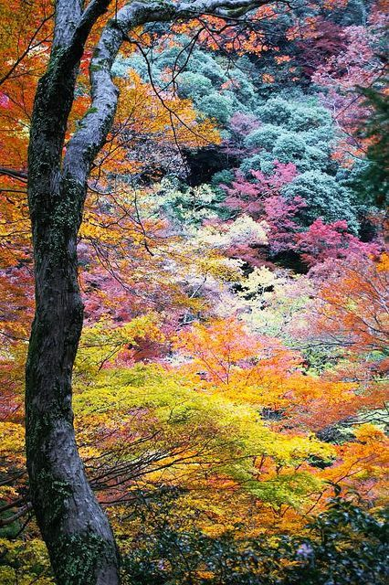 Japan in the fall - such incredibly beautiful colors in these leaves. A beautiful place for a honeymoon this sept