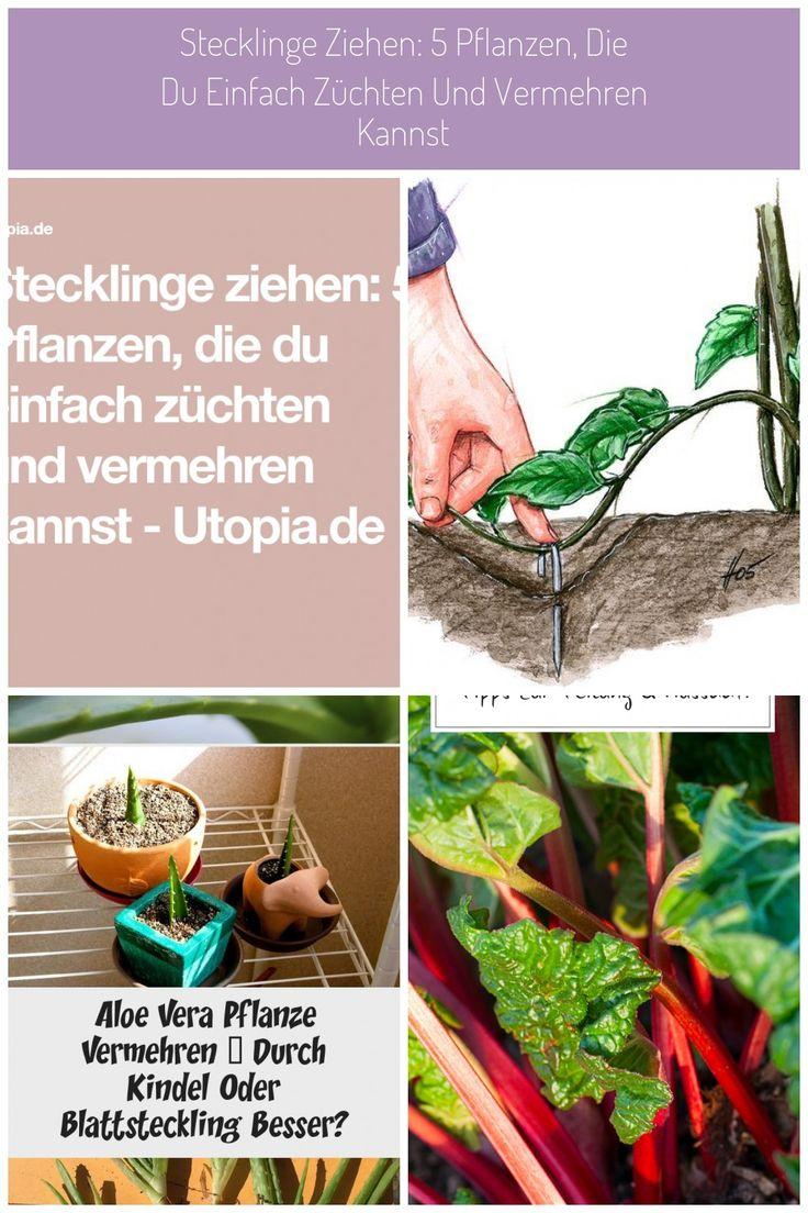 Wozu Neue Pflanzen Im Baumarkt Kaufen Wenn Du Auch Selbst Stecklinge Ziehen Kannst Mithilfe Von Ablegern Lassen Sich Pfla In 2020 Pflanzen Aloe Vera Pflanze Stecklinge