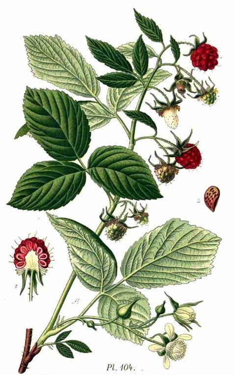 Die süßen Himbeeren sind köstlich und schnell verzehrt. Wusstest du aber auch, dass auch ihre Blätter sehr wertvoll und heilsam sind?