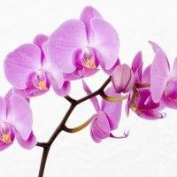 Орхидеи,Виды орхидей,фото и видео орхидеи, уход за орхидеями, разведения и размножение орхидеи. Почва для орхидеи, Горшки и колбы для орхидеи, Черная орхидея. Орхідея, орхідеї.