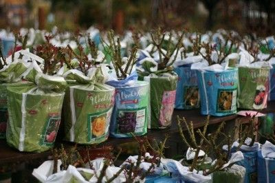 Bare Root Roses Care And How To Plant Bare Root Rose Bushes