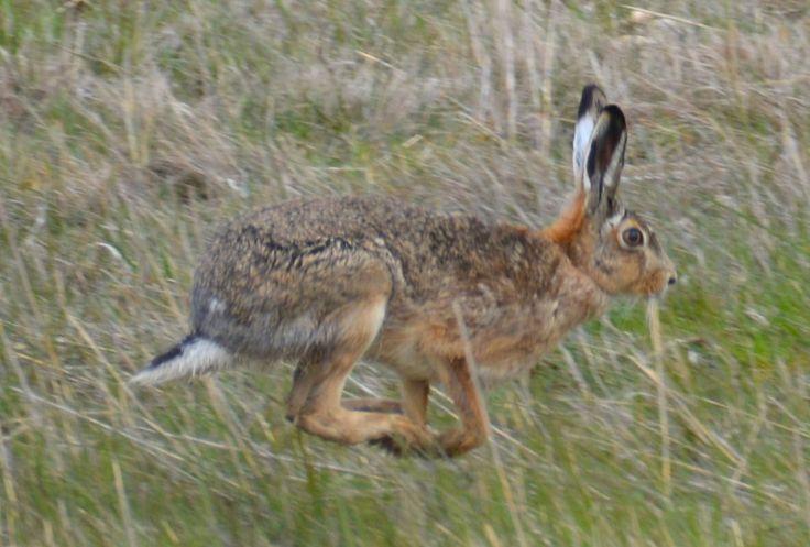 Hare, Vestamager, Denmark. #Hare #KalvebodFælled #EuropeanWildlife #HenryRasmussen