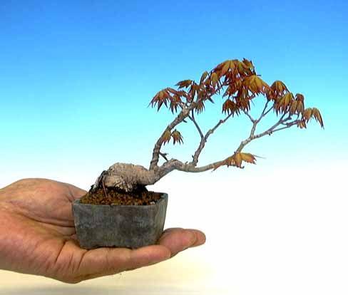 1800 flowers bonsai care