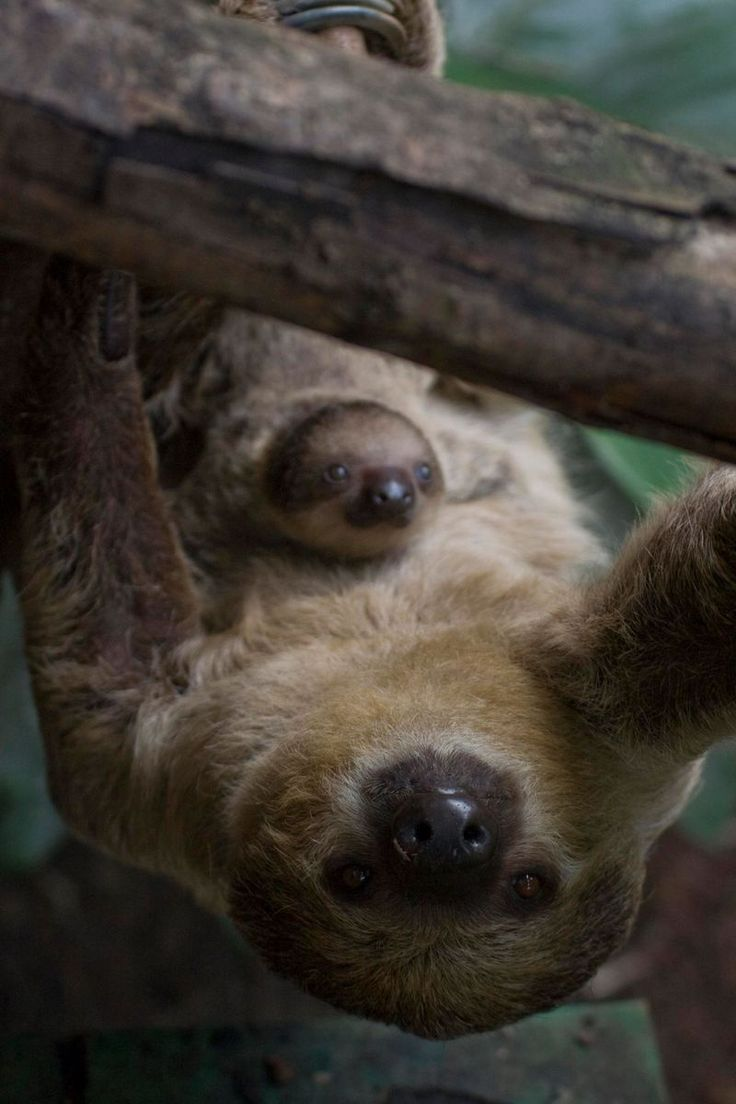 Surprise! It's a #sloth baby! The London Zoo welcomed its first ever baby Sloth, after a very surprise pregnancy.