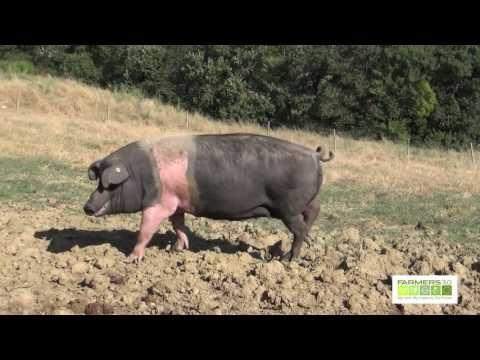 Azienda Agricola I Poggiarelli - Allevamento di Cinta Senese Renieri - YouTube