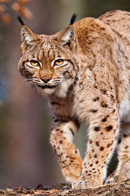 The Eurasian Lynx (Lynx lynx) is found from the Alps to Siberia.  -kc