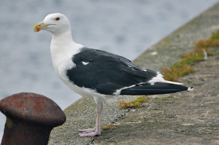 Black backed gull. Cairnbulg, Aberdeenshire.
