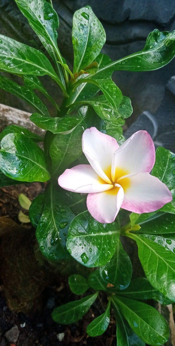 Bunga Kamboja Bunga