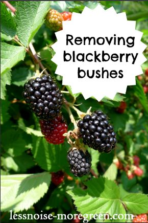how to cut back blackberry bushes