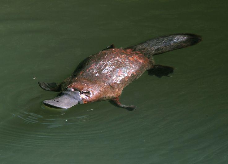 Platypus fun facts