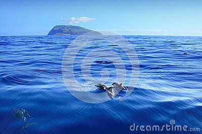 This view is in between Flores and Corvo island in the middle of Atlantic Ocean. On the horizont the island of Corvo as seen from the Corvo-Flores Channel and in the front wild dolphin family with babys.