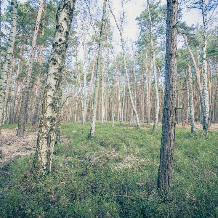 Bild 22 - Zadlitzbruch in der Dübener Heide bei Torgau | © Michael Eichhorn #zadlitzbruch #dübener_heide #naturschutzgebiet #sachsen #saxony #ausflugsziel #torf #moor #hochmoor #wandern #dübenerheide #duebenerheide #torgau #baddueben #baddüben #wald #sumpf #sumpfgebiet #natur #naturschutz #reservat #biosphäre #biosphere #farn #naturpark #falkenberg #trossin #dresden #nordsachsen #leipzig #sehenswürdigkeit #ziel #sonnentau #sumpfdotterblume #kranich