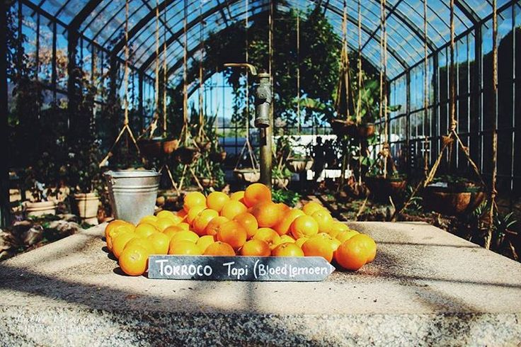 Exploring the beautiful @babylonstoren #wander #oranges #harvest #greenhouse #farm #organic #adventures #explore #natural 🍃🌾🍊🍋🏠  Cathé Pienaar Photography. Cape Town, South Africa, but travel all over.   Contact for information on bookings and package.  - http://cathe.co.za/  - info@cathe.co.za  - https://www.facebook.com/CathePienaarPhotography