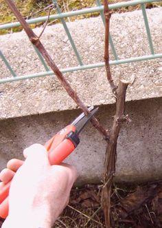 Przycinanie winogron
