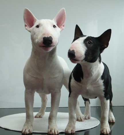 "The Miniature Bull Terrier is in every way – except size – exactly like the Bull Terrier. Bull Terriers were first meant to be rough, tough fighting dogs but now exhibit a much gentler, playful personality. As a matter of fact, the jovial nature and the distinctive egg-shaped head of the Bull Terrier made it an apt choice for Target ads and Anhauser Busch's popular ""Spuds McKenzie"" ad campaign. The breed can be solid white or colored."