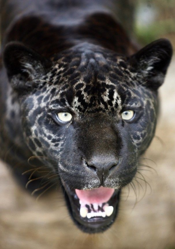 "Black Jaguar or ""melanistic color variant"" Saw a Black Jaguar on Wild Kratts this a.m. with my daughter.  :)"