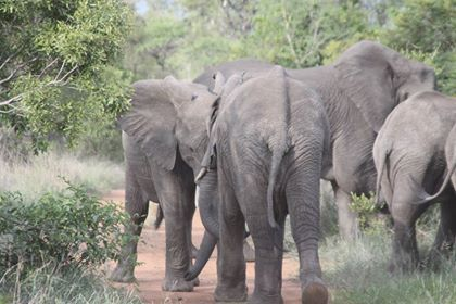 At Chisomo, our guests got to witness just how important family bonds are within an elephant herd, when they got to watch these 2 juvenile males pushing and shoving one another and engaging in some typical 'boy' playtime!