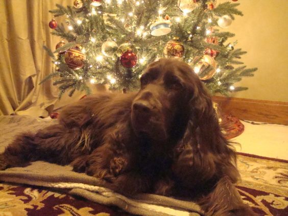 Barclay ~ Field Spaniel ~ Classic Look & Trim