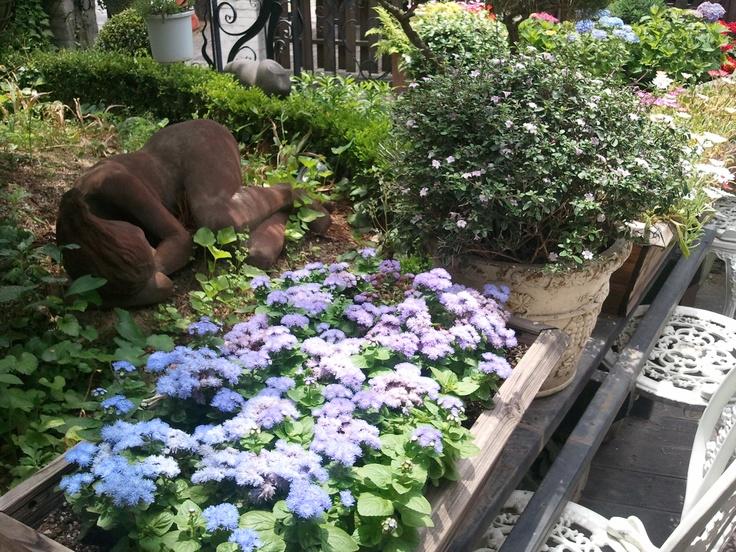 Violet Ageratum in my garden, South Korea