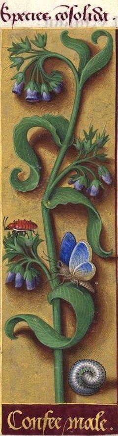 Confee male - Species consolida (Symphytum officinale L. fl. roseo = consoude à fleurs roses) -- Grandes Heures d'Anne de Bretagne, BNF, Ms Latin 9474, 1503-1508, f°106r