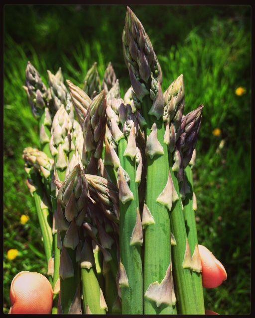 Kent grown Asparagus, delicious.