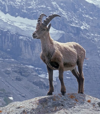 Pyrenean Ibex.  Now extinct.  Last natural born animal died January 2000.
