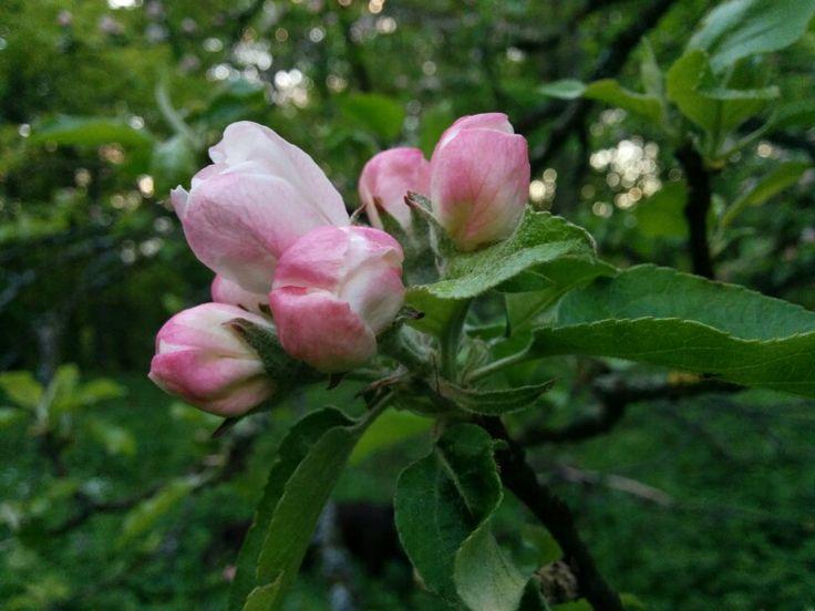 Äppelblom i Sträntemölla i maj