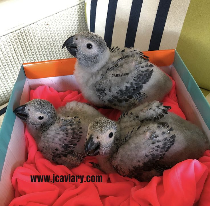 Congo African Grey Babies Available For Reservation