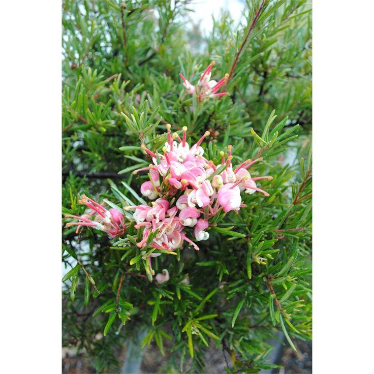 135mm Pink Grevillea Rosmarinifolia hybrid