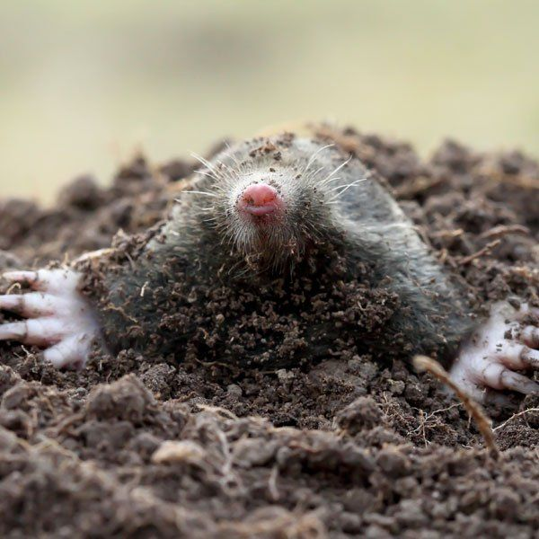 Luxury How to Get Rid of Moles