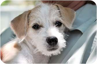wire-haired terrier mix - Google Search