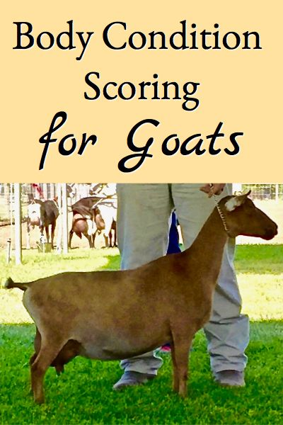 Body condition scoring for goats describes how this process is used for assessing goats size, why it's important, and includes a downloadable attachment that has pictures and descriptions guiding you through the process.