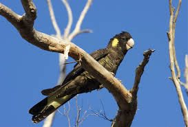 yellow tailed black cockatoo - Google Search