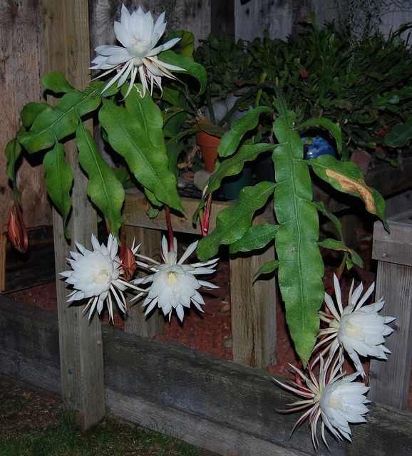 night blooming plant | Epiphyllum oxypetalum (night-blooming cereus) Plant - a photo on ...
