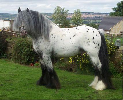 Ghost Rider - Gypsy Vanner Horses from Gypsy MVP