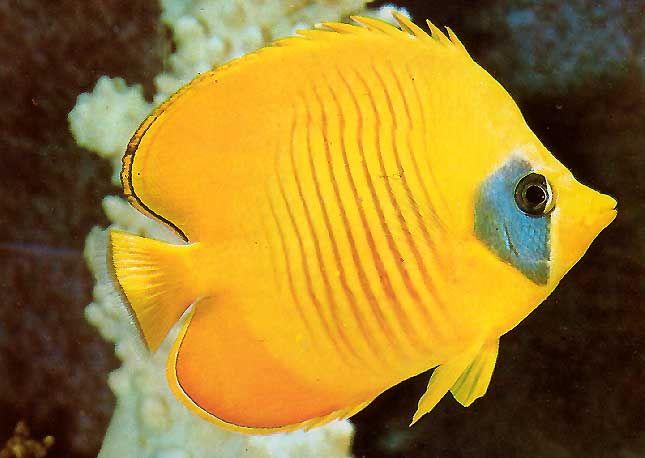 Mejores 7 im genes de animales de color amarillo en for Mejores peces agua fria