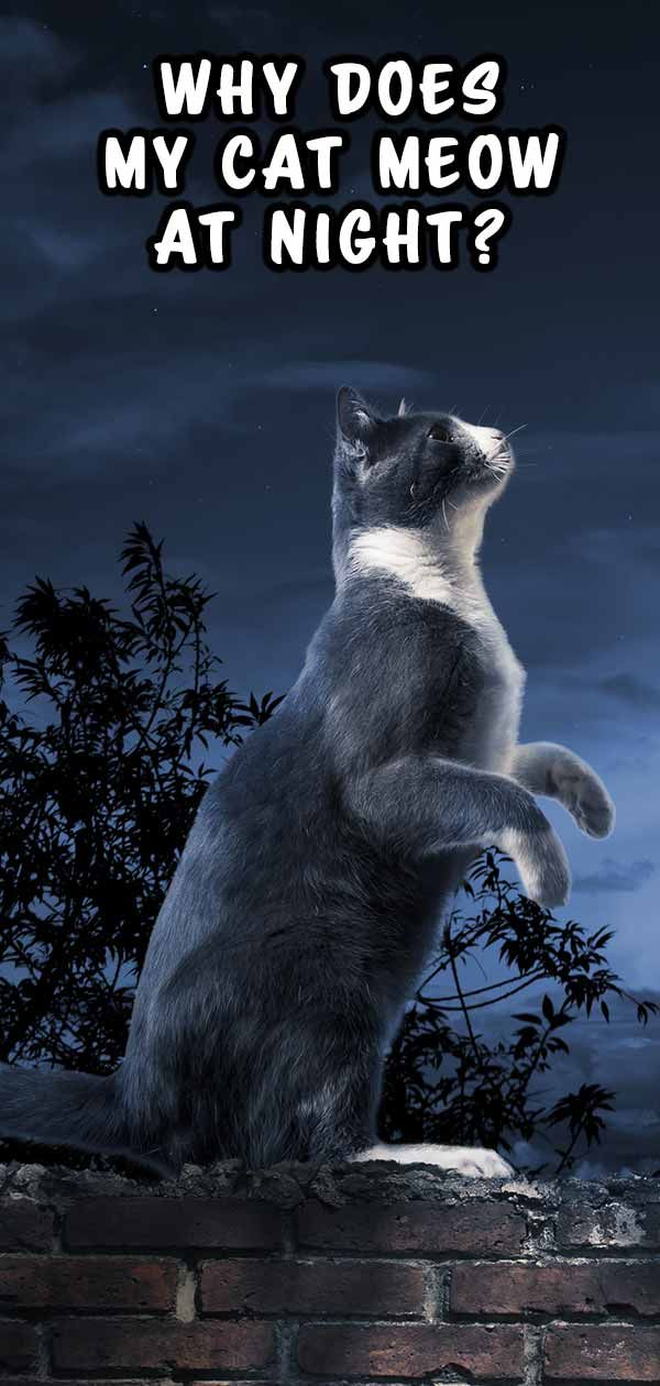 Why Is My Cat Meowing At Night Reasons And Solutions For Night Time Crying In 2020 Cat Meowing At Night Cat Crying Crying At Night