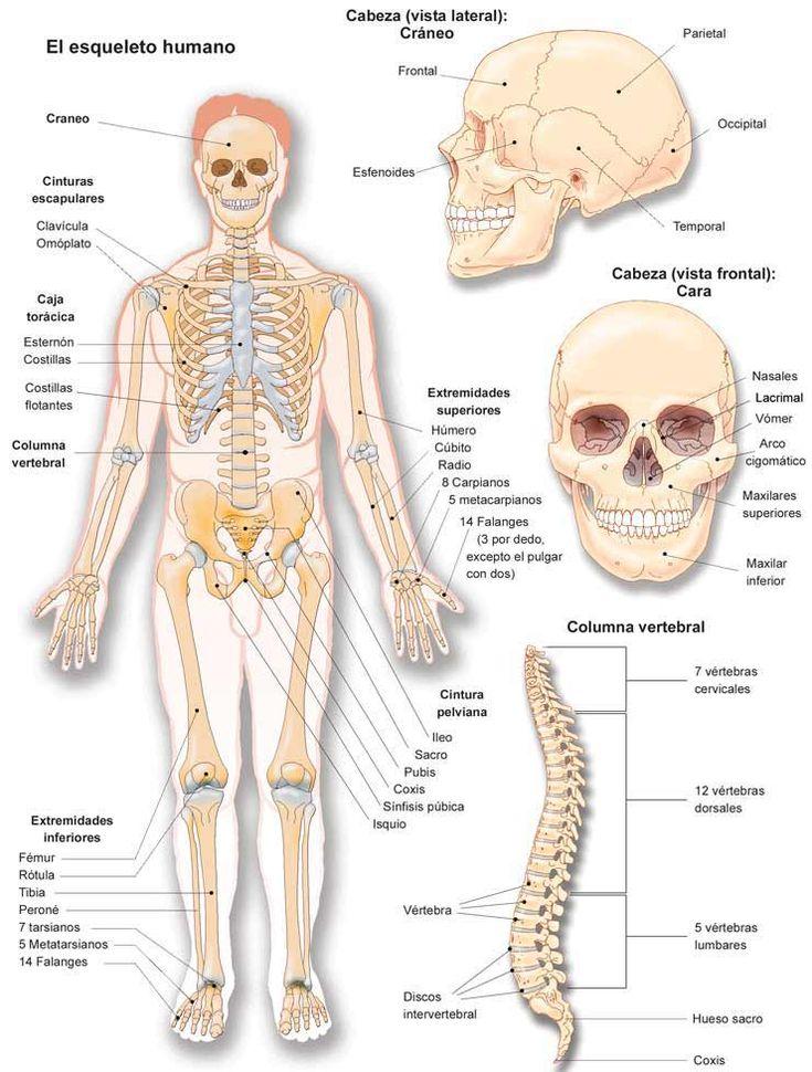 Mejores 80 imágenes de anatomia en Pinterest | Cuerpo humano ...