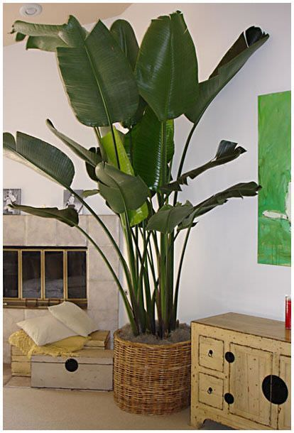 Advice on growing the Bird of Paradise Palm as well as other indoor palms.