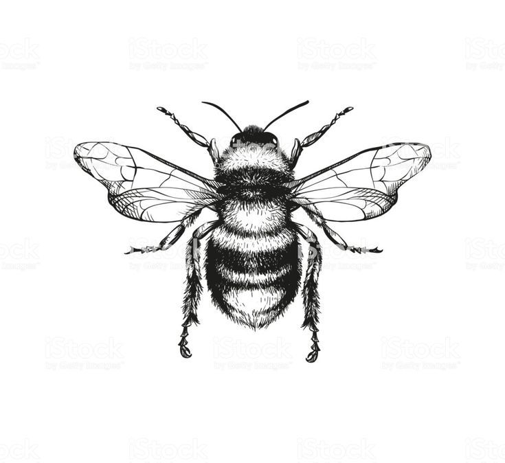 Vector engraving illustration of honey bee on whit…