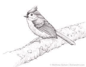 Tufted Titmouse Pencil Sketch