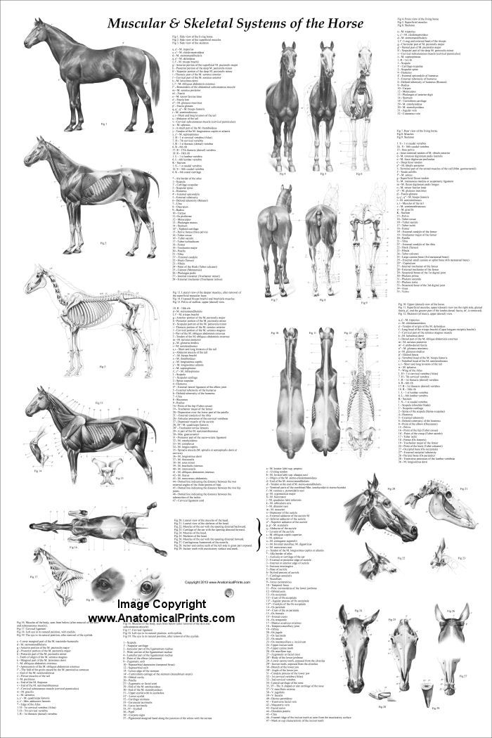 Horse anatomy poster created using 29 vintage illustrations from the anatomy of the horse book by Prof. Dr. W. Ellenberger.