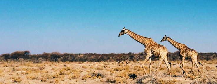 #KenyaSafariTours&Holidays are the best way to explore the unique culture of the Kenya. So come with your family and enjoy the safari vacation in Kenya. Find out more @ http://kenya-safaris.co/