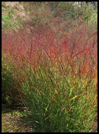200 best images about ornamental grasses on pinterest for Fast growing ornamental grass