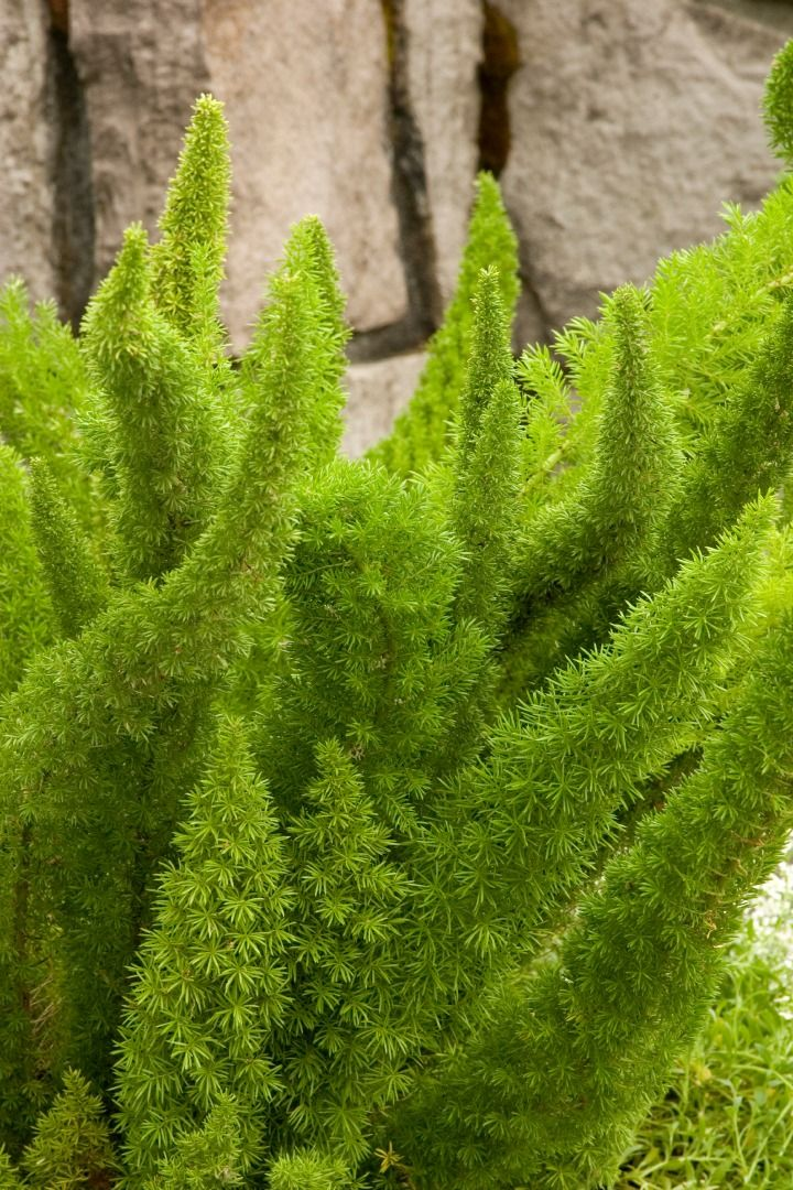 ~Foxtail Fern (Asparagus densiflorus) 'Myers'~  Hardiness Zones 9-11 where it can be used in border plantings.  Zone 8 up containers which can be relocated during winter...
