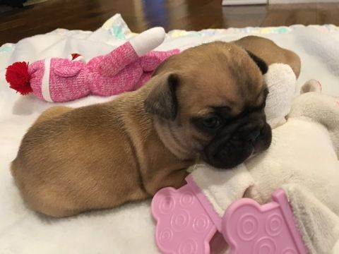 French Bulldog Puppy For Sale In Farmington Mo Adn 71121 On