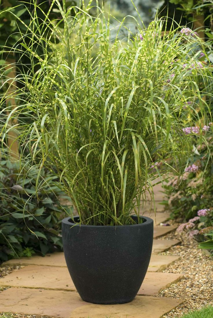 Miscanthus sinensis gold breeze hot house pinterest for Best ornamental grasses for pots