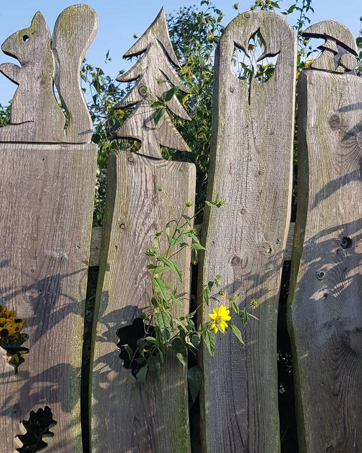 Guten Morgen….die Staudensonnenblume wollte nich länger hinterm Zaun stehen…