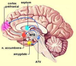 """The nucleus accumbens (NA) is a small part of the brain that is important for motivation, pleasure, and addiction. Sometimes called the brain's """"pleasure center,"""" this cluster of neurons modulates the effects of the neurotransmitter dopamine, on which many neural circuits depend. The nucleus accumbens is a link in the brain pathways that cause addiction and depression. Damage to this region of the brain causes a lack of motivation and inhibits addictive behavior. (thanks Trisha)"""