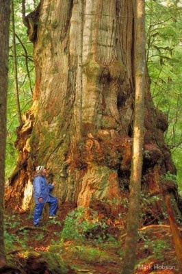 Old Growth Cedar in the Clayoquot Temperate Rainforest, B.C. (photo- Mark Hobson)